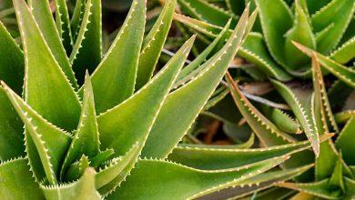 Photo of Aloe Vera Bitkisel Sağlık Yatırımında Öne Çıkan İlginç Ürünlerden Biri